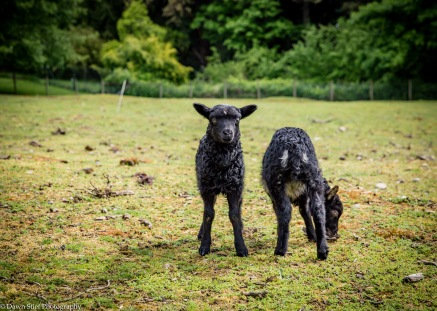 Late spring lambs