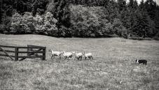 Sheep-11