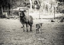 Sheep-6