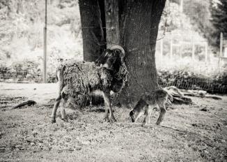 Sheep-8