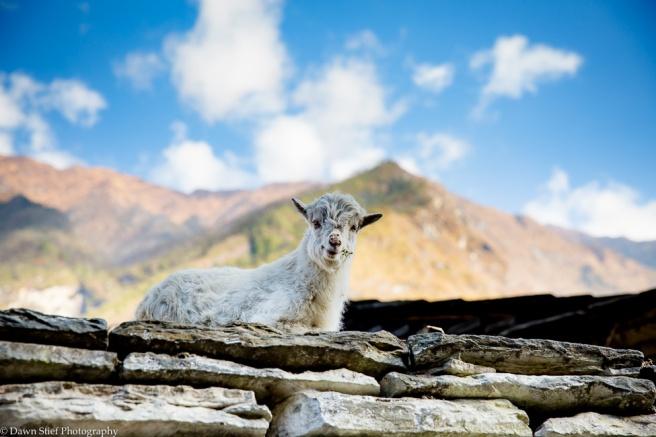 Rooftop sheep
